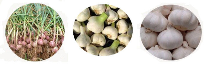 garlic and garlic without root