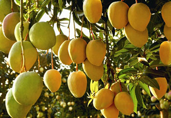 Mango Processing Products and Methods