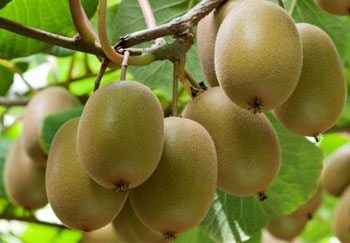 how to process kiwi fruit industrially