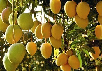 how to process mango products